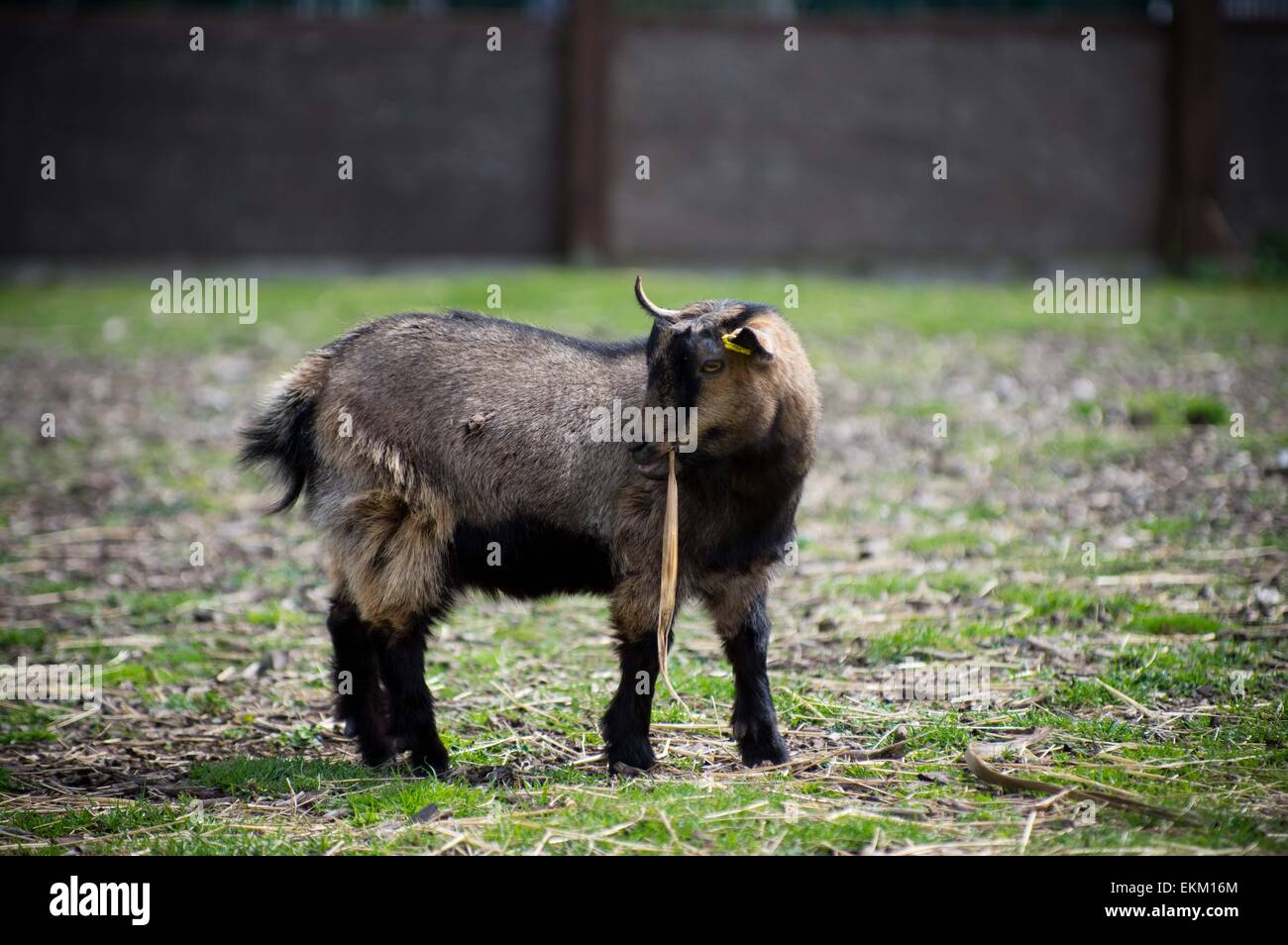 London, United Kingdom. 11th Apr, 2015. The racing goat 'Cambridge' seen before the race. Annual goat racing - Stock Image