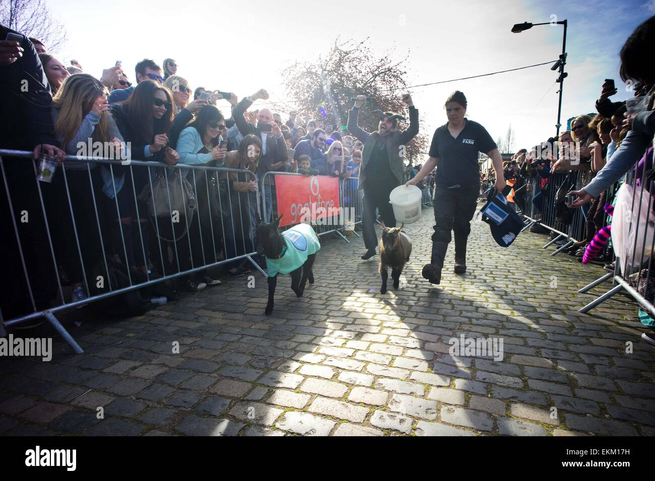 London, United Kingdom. 11th Apr, 2015. The racing goats 'Cambridge' and 'Oxford' running down the - Stock Image
