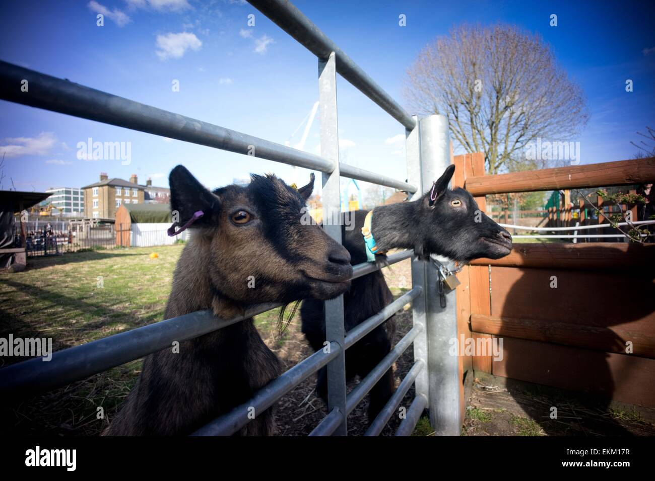 London, United Kingdom. 11th Apr, 2015. The racing goats 'Cambridge' and 'Oxford' seen before the - Stock Image