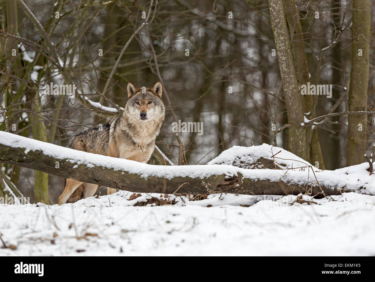 Wolf (Canis lupus) in winter - Stock Image