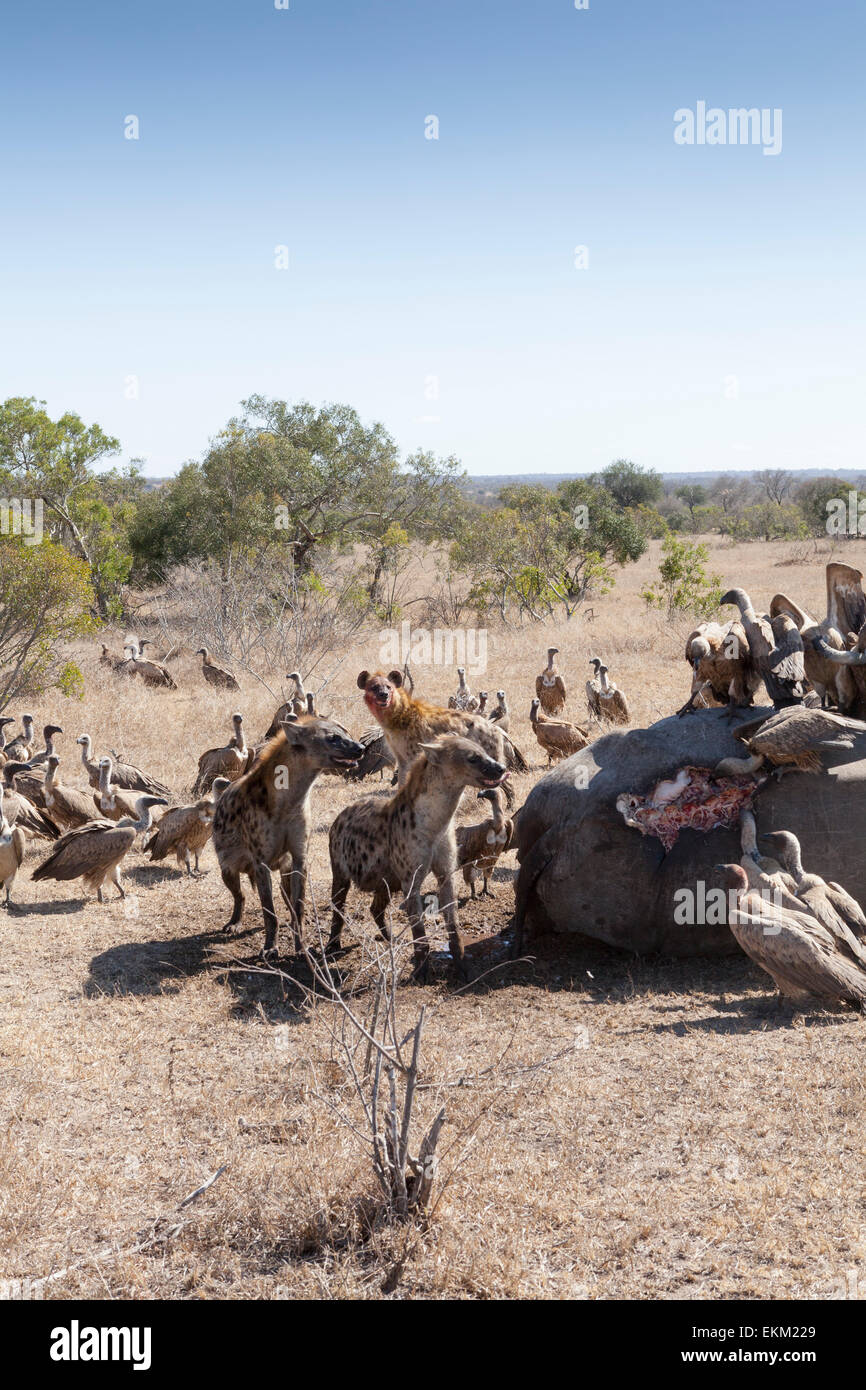 Spotted hyena and white-backed vultures - scavengers feeding on carcass of poached rhino, South Africa - Stock Image