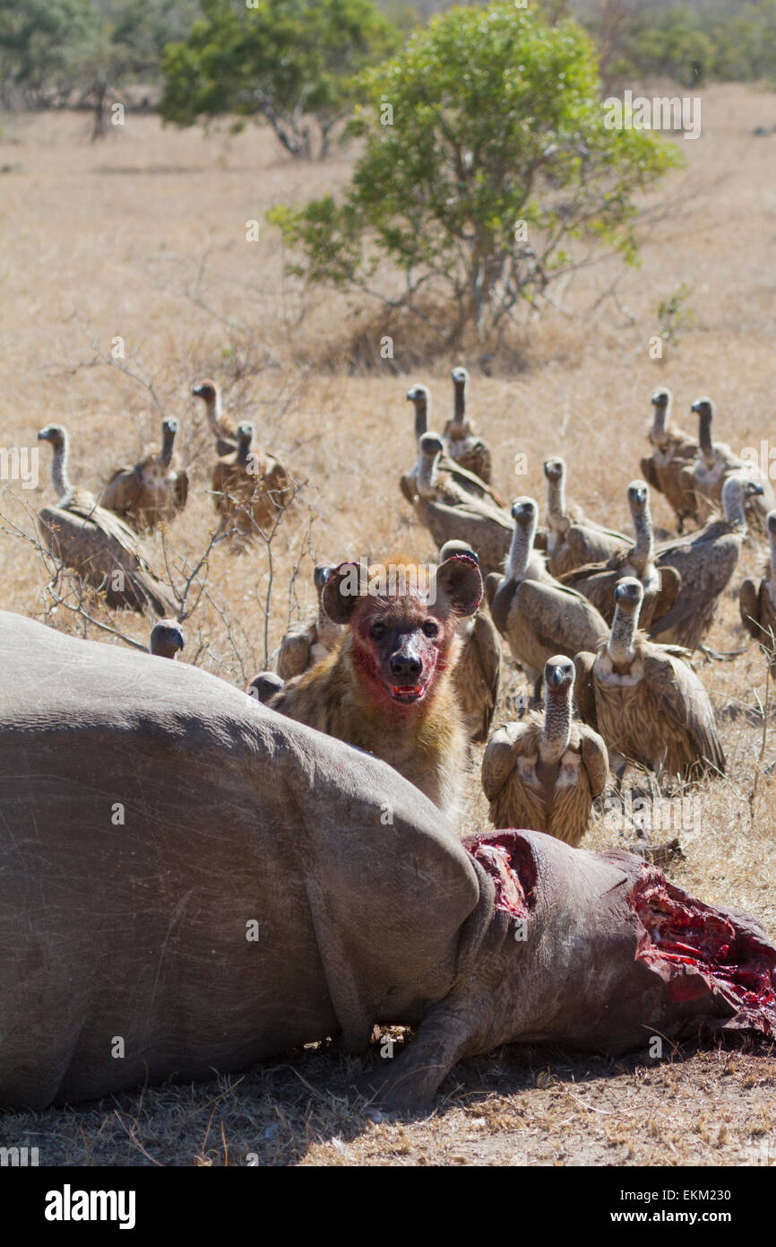 Spotted hyena and white-backed vultures - scavengers feeding on mutilated carcass of poached rhino, South Africa - Stock Image
