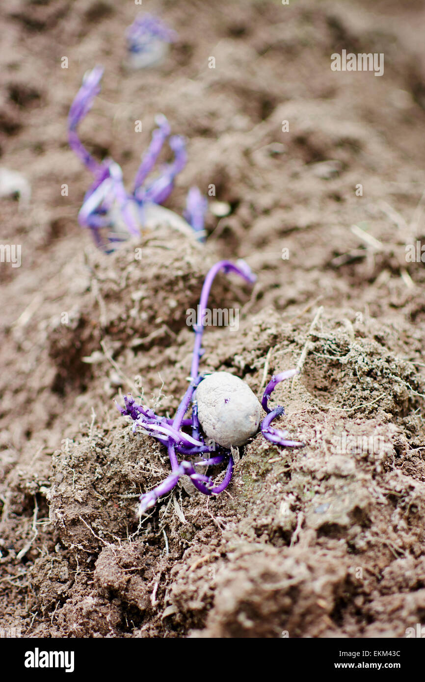 Purple 'Bergerac' potatoes being planted in a vegetable garden. Stock Photo