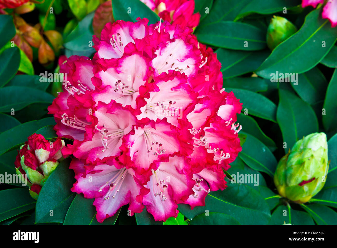 Large cluster of pink and white rhododendron flowers and buds. - Stock Image