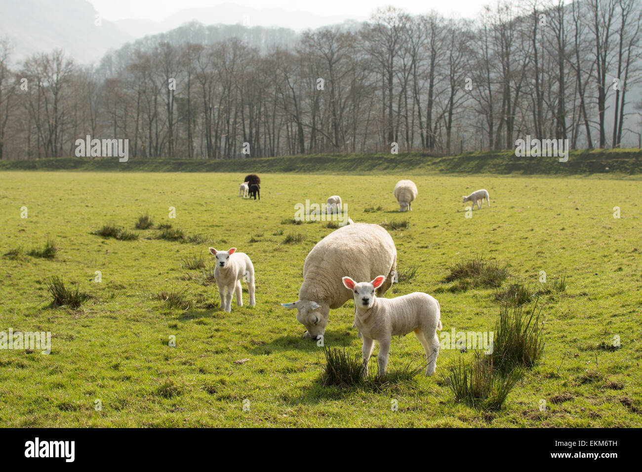 Twin lambs - pink ears backlit by spring sunshine - Lake District, England, UK - Stock Image
