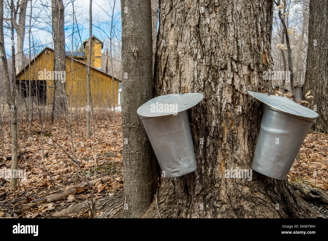 Pail used to collect sap of maple trees to produce maple syrup in Quebec. - Stock Image
