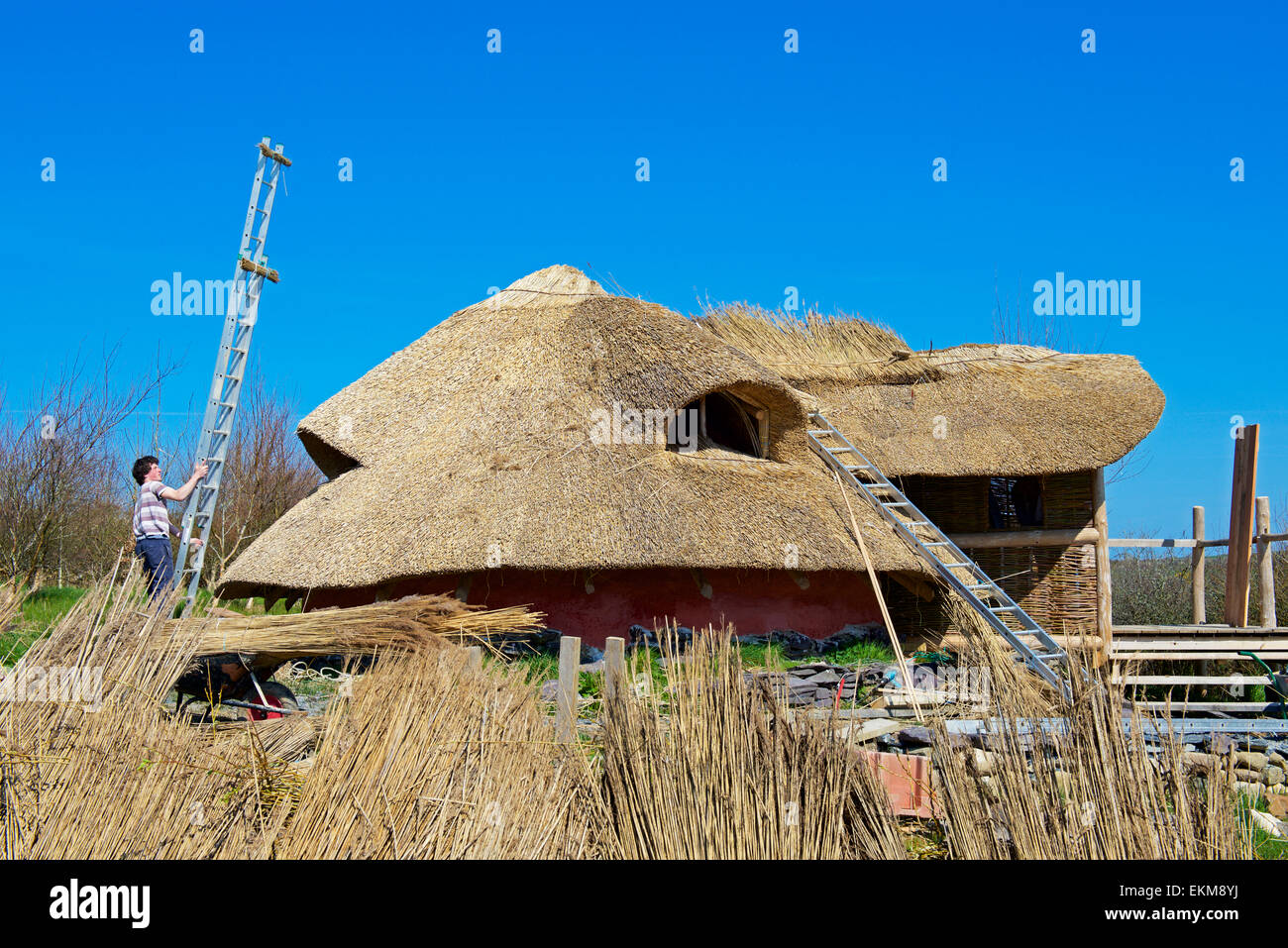 Roundhouse being thatched at the Felin Uchaf educational centre, Llyn Peninsular, Gwynedd, North Wales UK - Stock Image