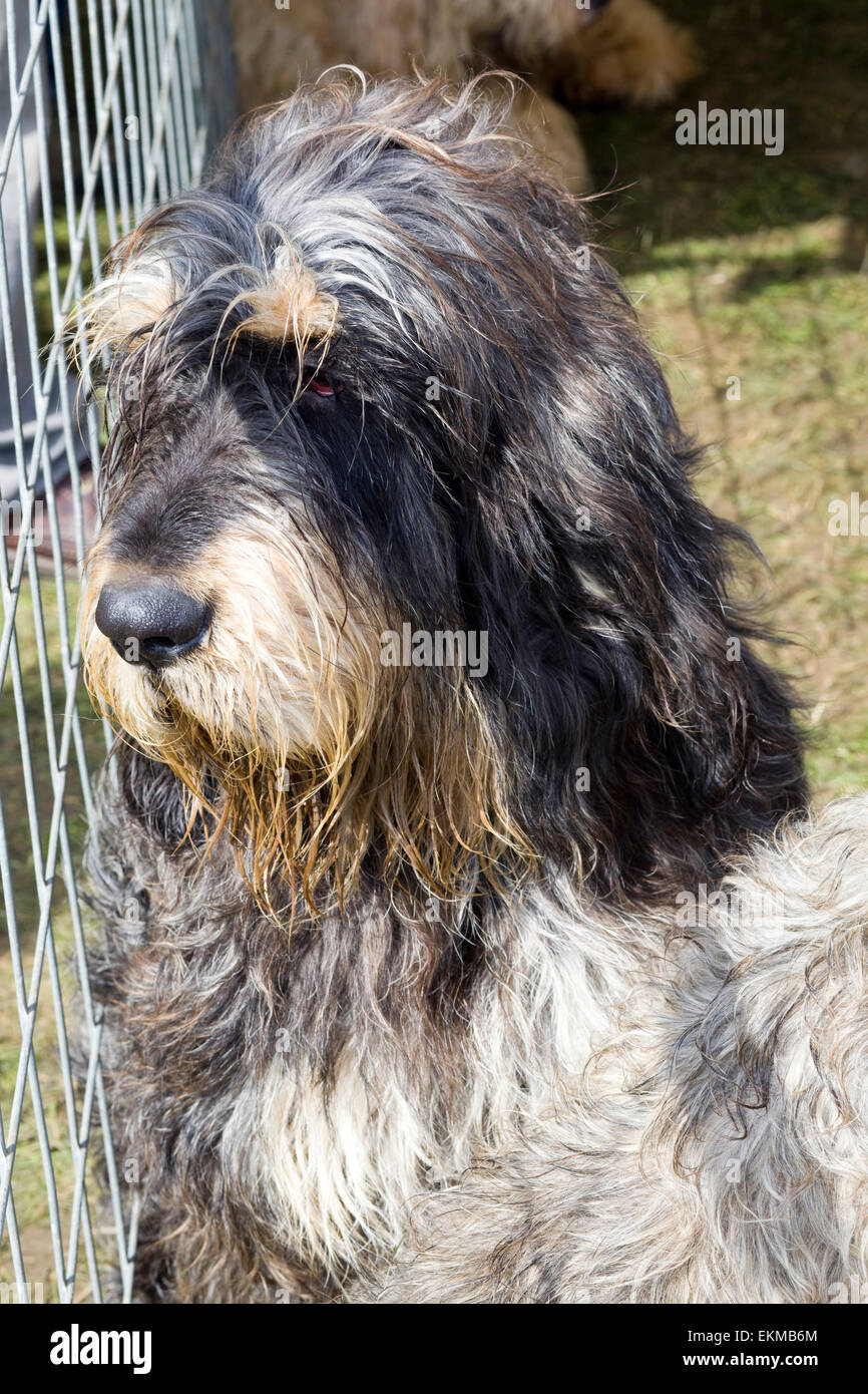 Otter hound looking out through a wire fence - Stock Image