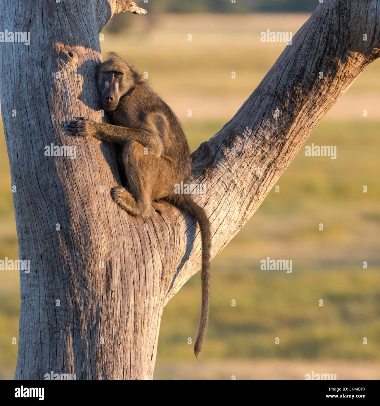 Baboon in tree, early morning, Chobe National Park Botswana - Stock Image