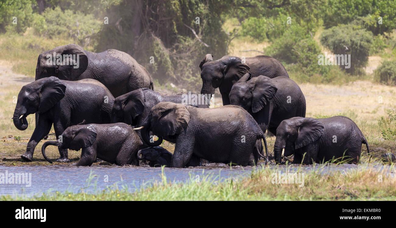 Parade of elephants enjoy the water of the Chobe River in Chobe National Park, Botswana - Stock Image
