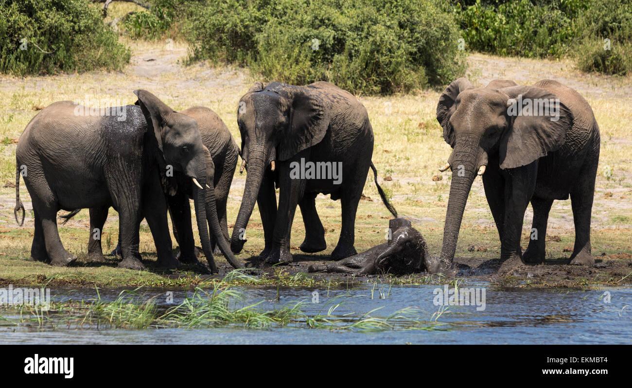 Elephants enjoying the water at Chobe River in Chobe National Park Botswana - Stock Image