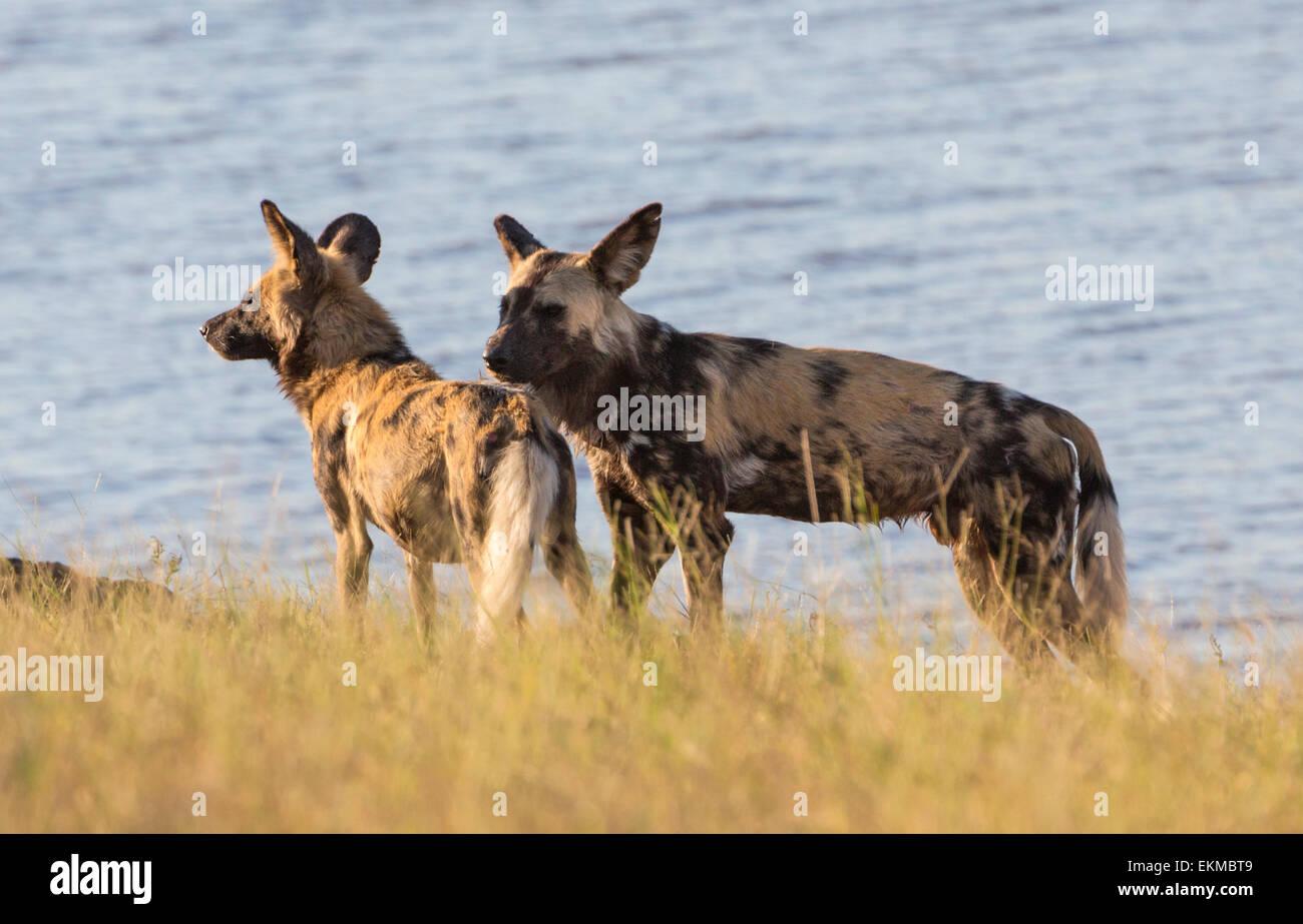 Wild Dogs near the Chobe River, Chobe River National Park, Botswana - Stock Image