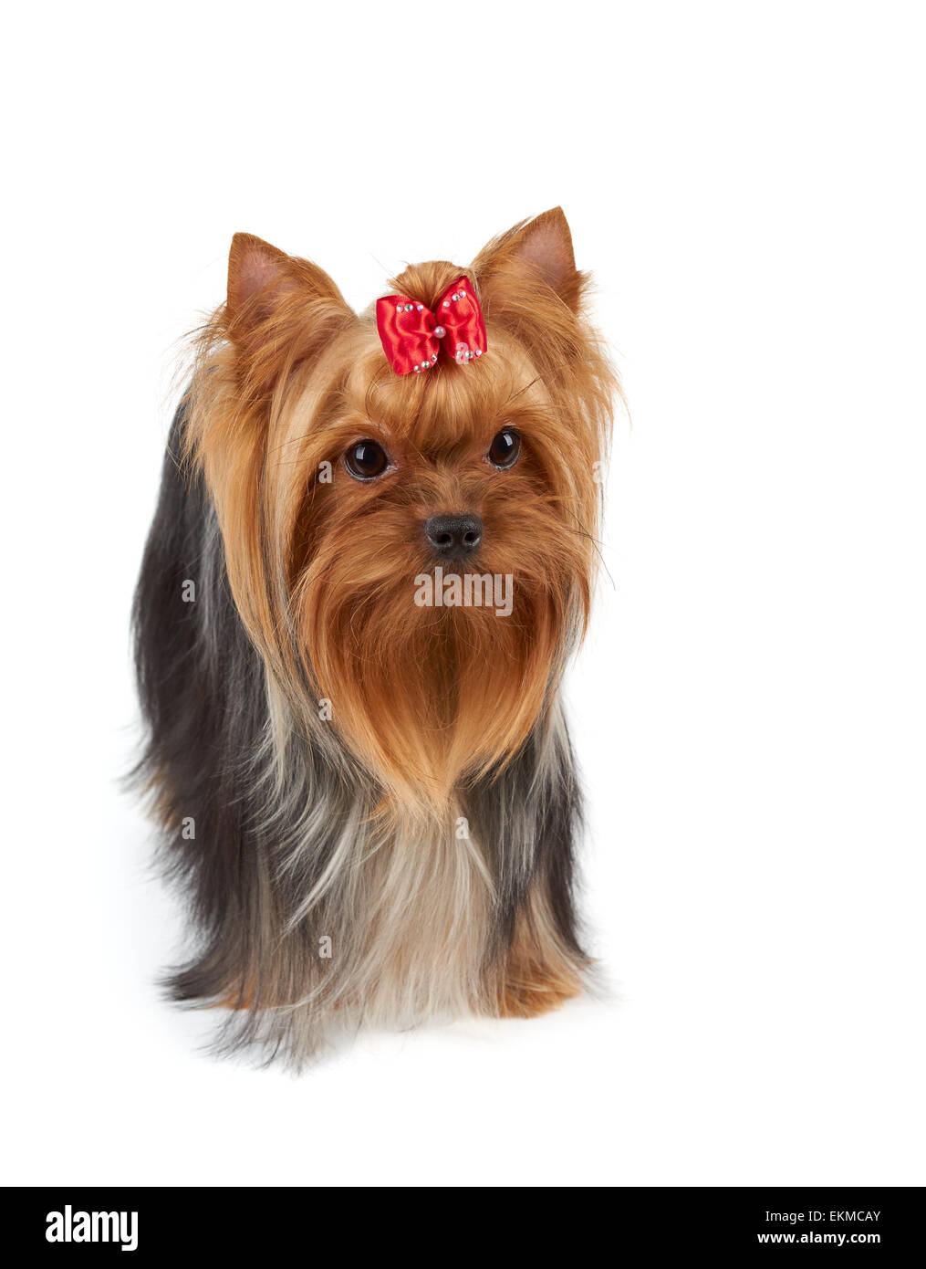 Yorkshire Terrier With Large Beautiful Eyes Long Hair And Red Bow