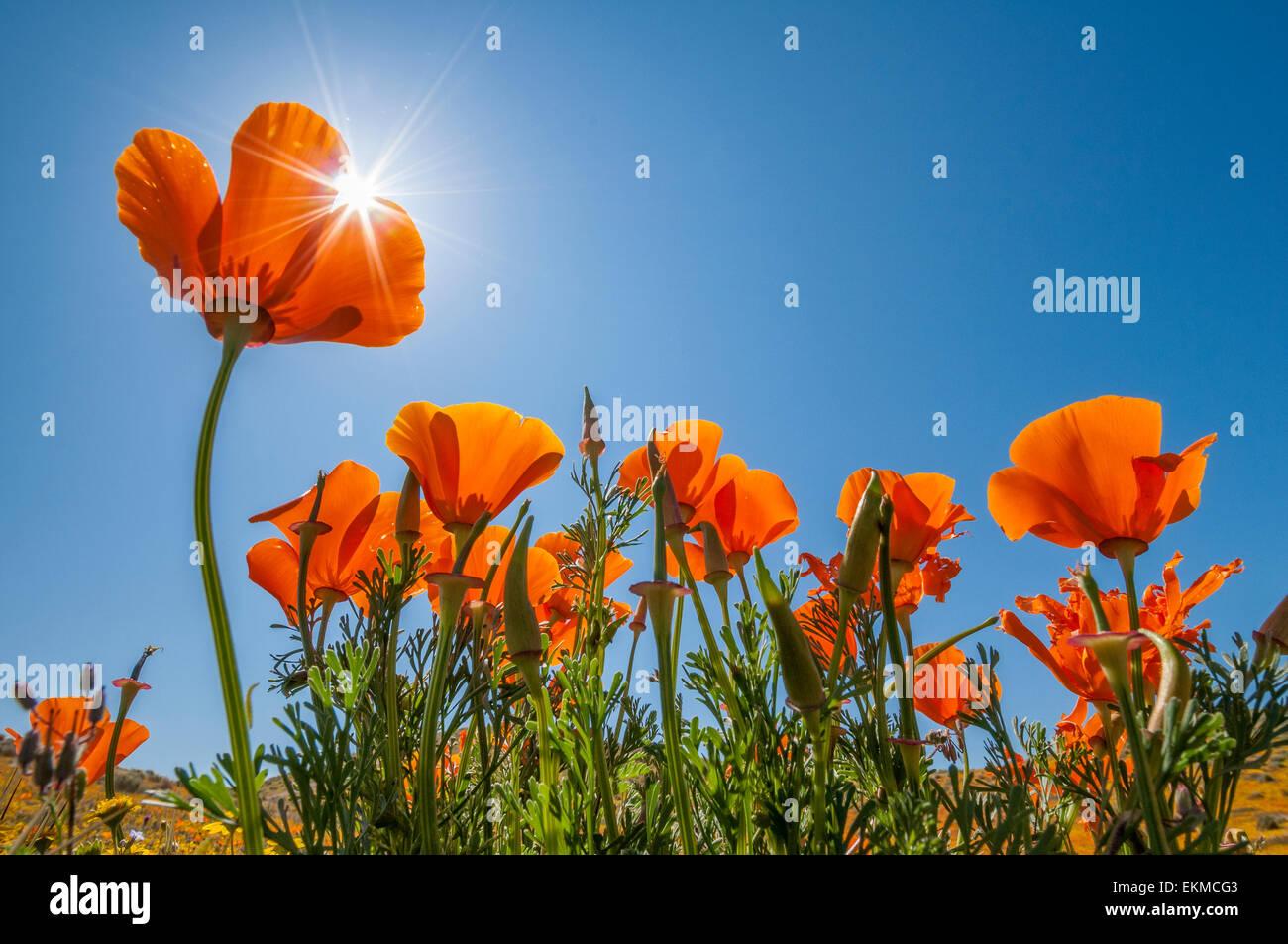 California Poppies in bloom, Antelope Valley California Poppy Reserve, Mojave Desert, California. - Stock Image