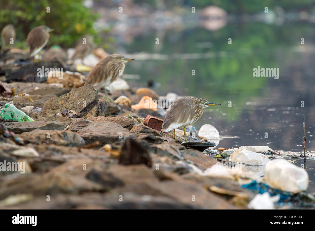 Birds on the bank of polluted river in India - Stock Image