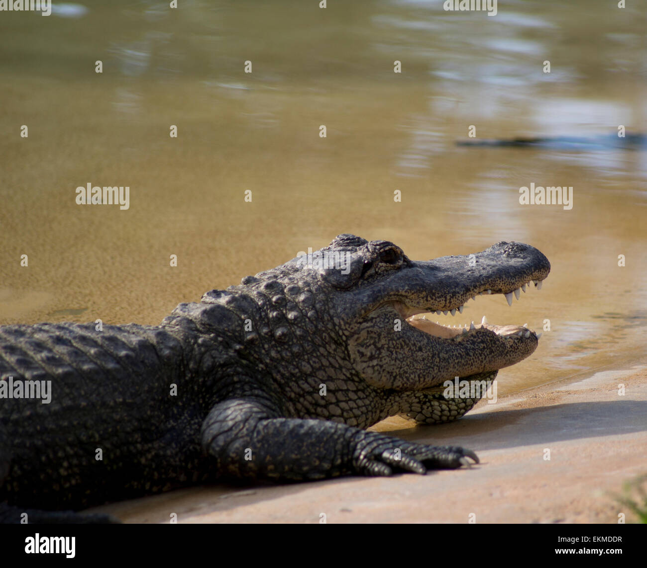 Alligator waiting for its prey - Stock Image