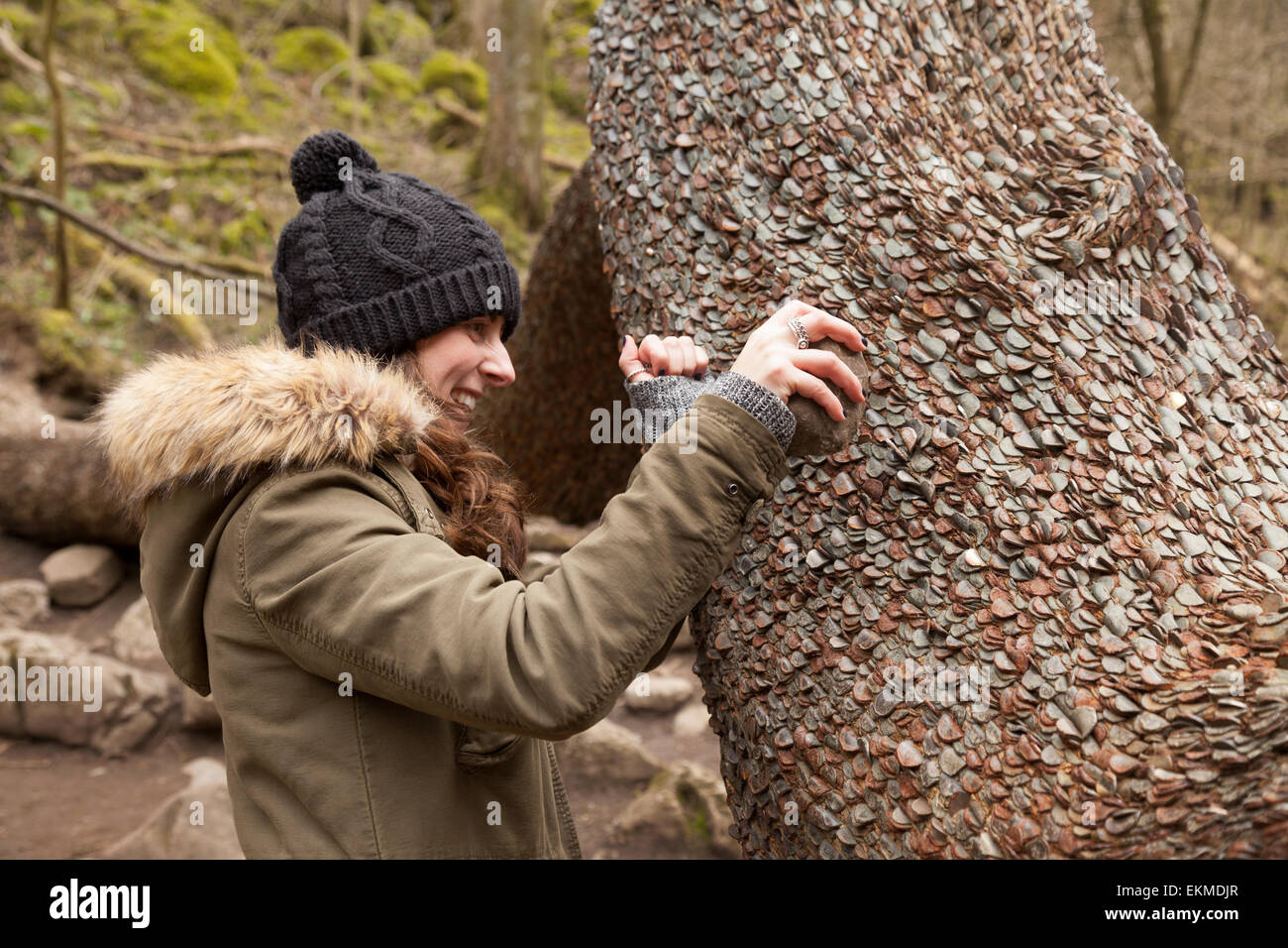 A young woman bashing a coin into the Money Tree for luck; Ingleton Waterfall Trail, Yorkshire Dales, England UK - Stock Image