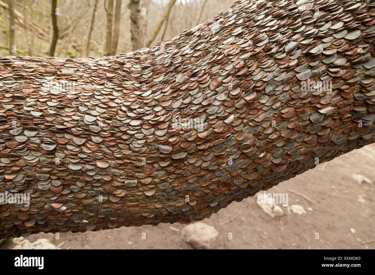 A section of trunk from the lucky Money Tree, Ingleton, North Yorkshire Dales, UK - Stock Image