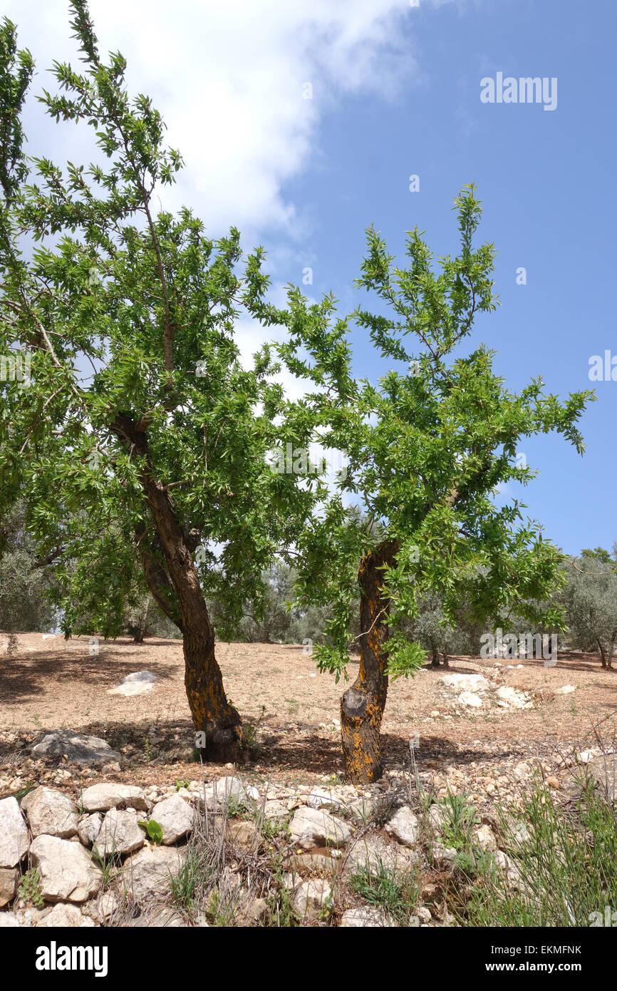 Sweet almond tree Prunus dulcis, in spring, Malaga, Andalusia, Spain. - Stock Image