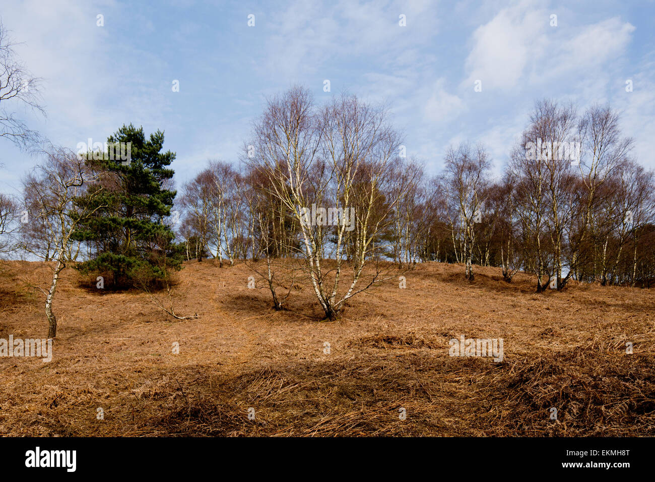 Silver Birch and conifer on Cannock Chase - Stock Image