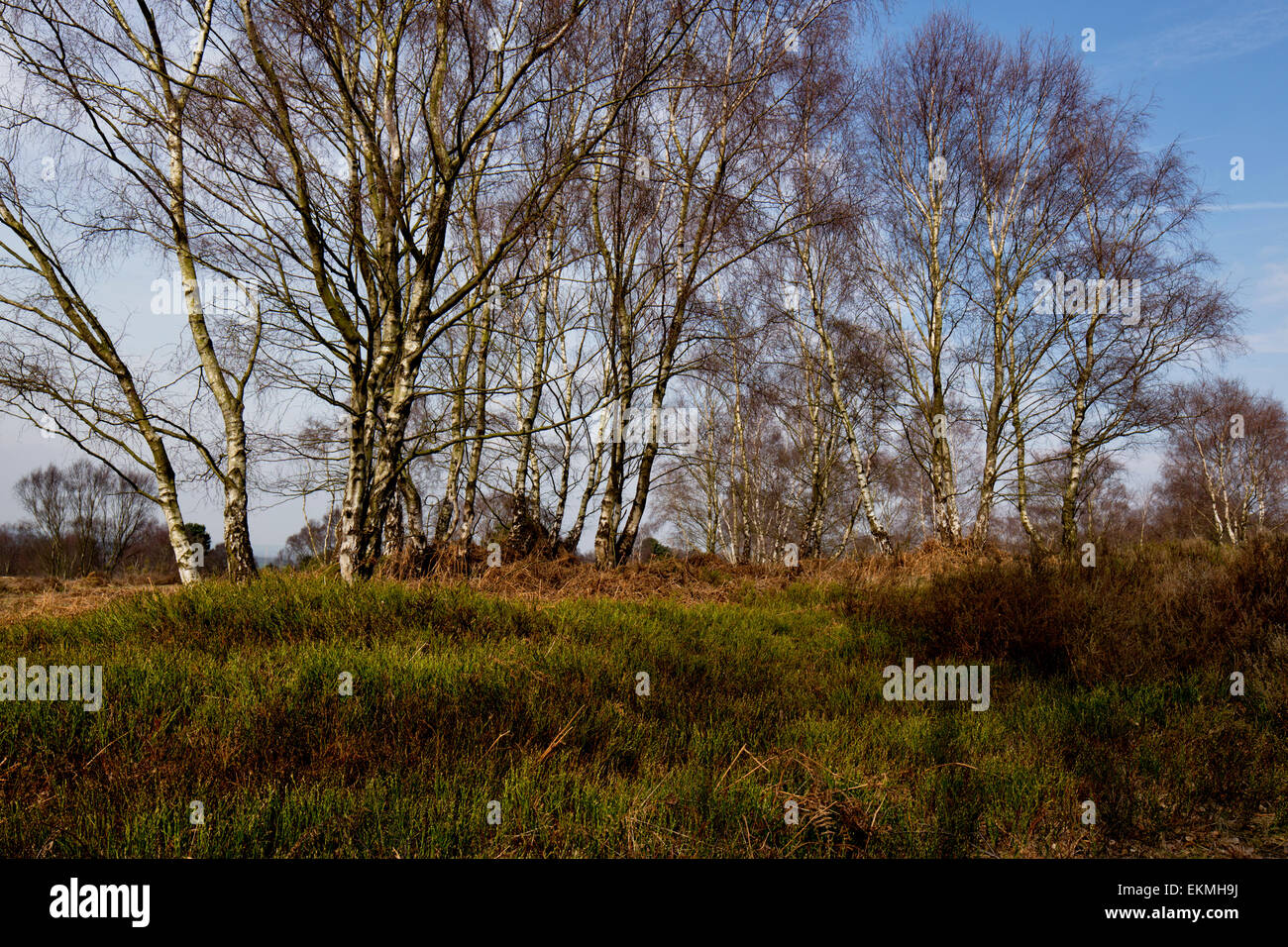 Silver Birch trees and heathland vegetation - Stock Image
