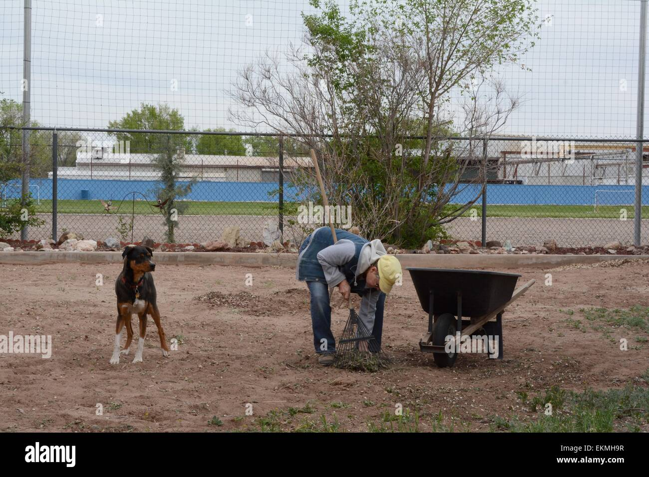 Yard work using a rake and wheelbarrow - USA - Stock Image