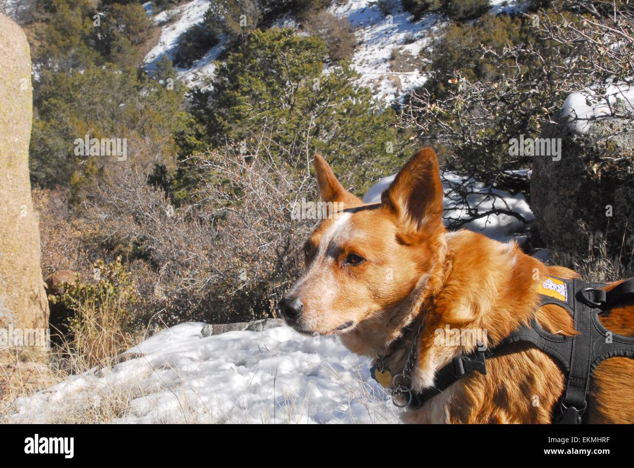 My dog, Shiloh, taking a break along trail in Sandia Mountains of New Mexico - USA - Stock Image