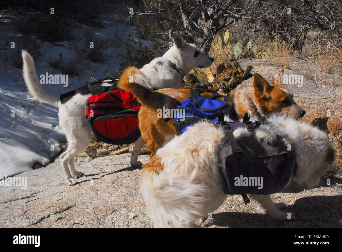 Three dogs carrying back packs while on a hike in the Sandia Mountains of New Mexico - USA - Stock Image