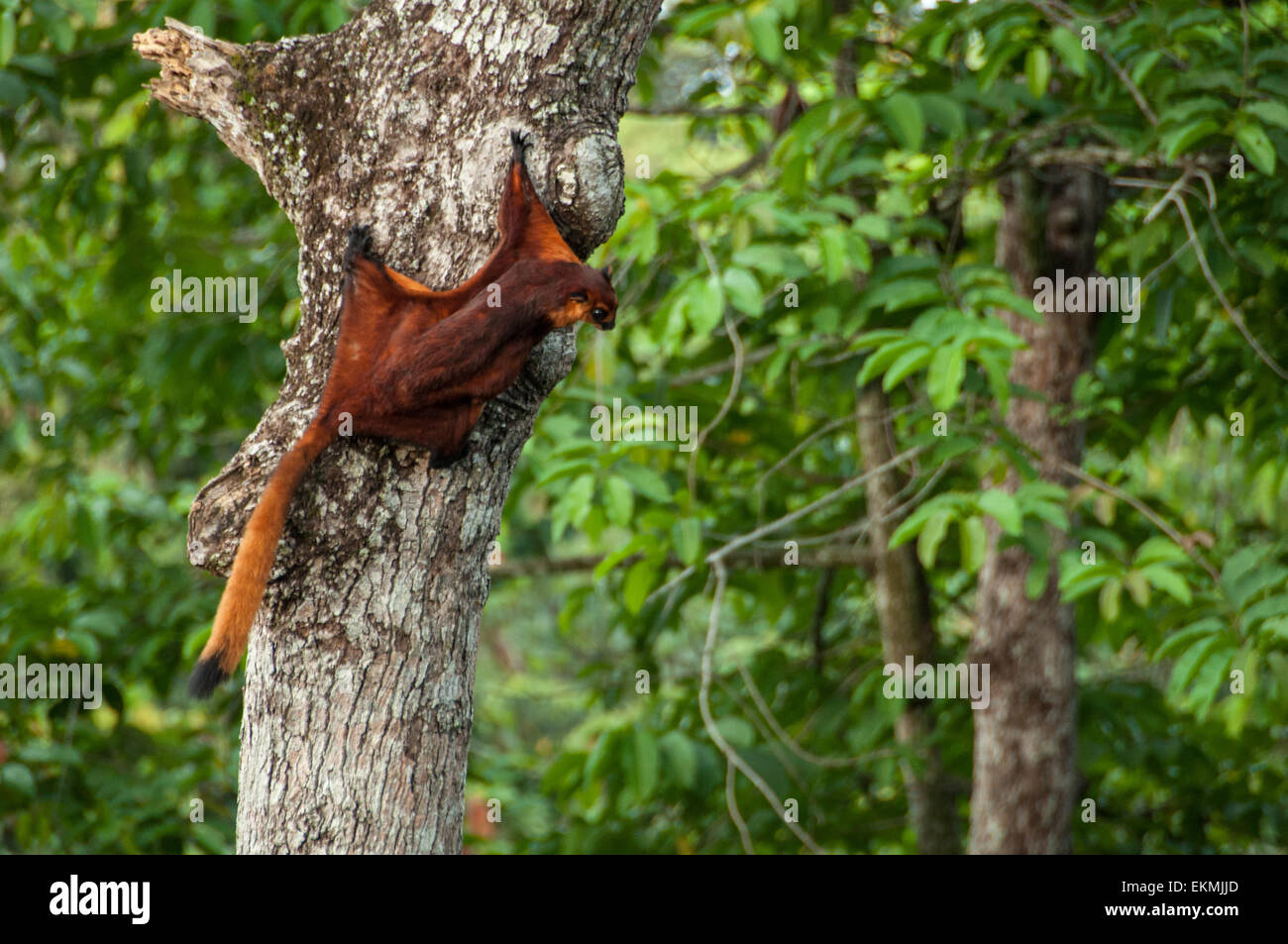 Red flying squirrel ready to fly off from a jungle tree, Sabah, Borneo, Malaysia Stock Photo
