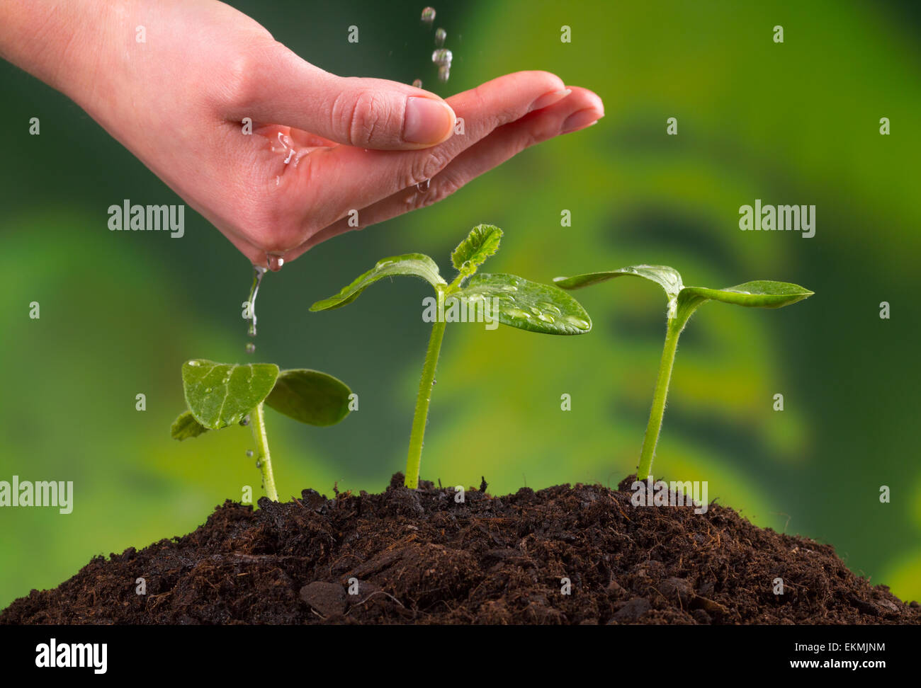 Woman hand watering young plants in pile of soil - Stock Image