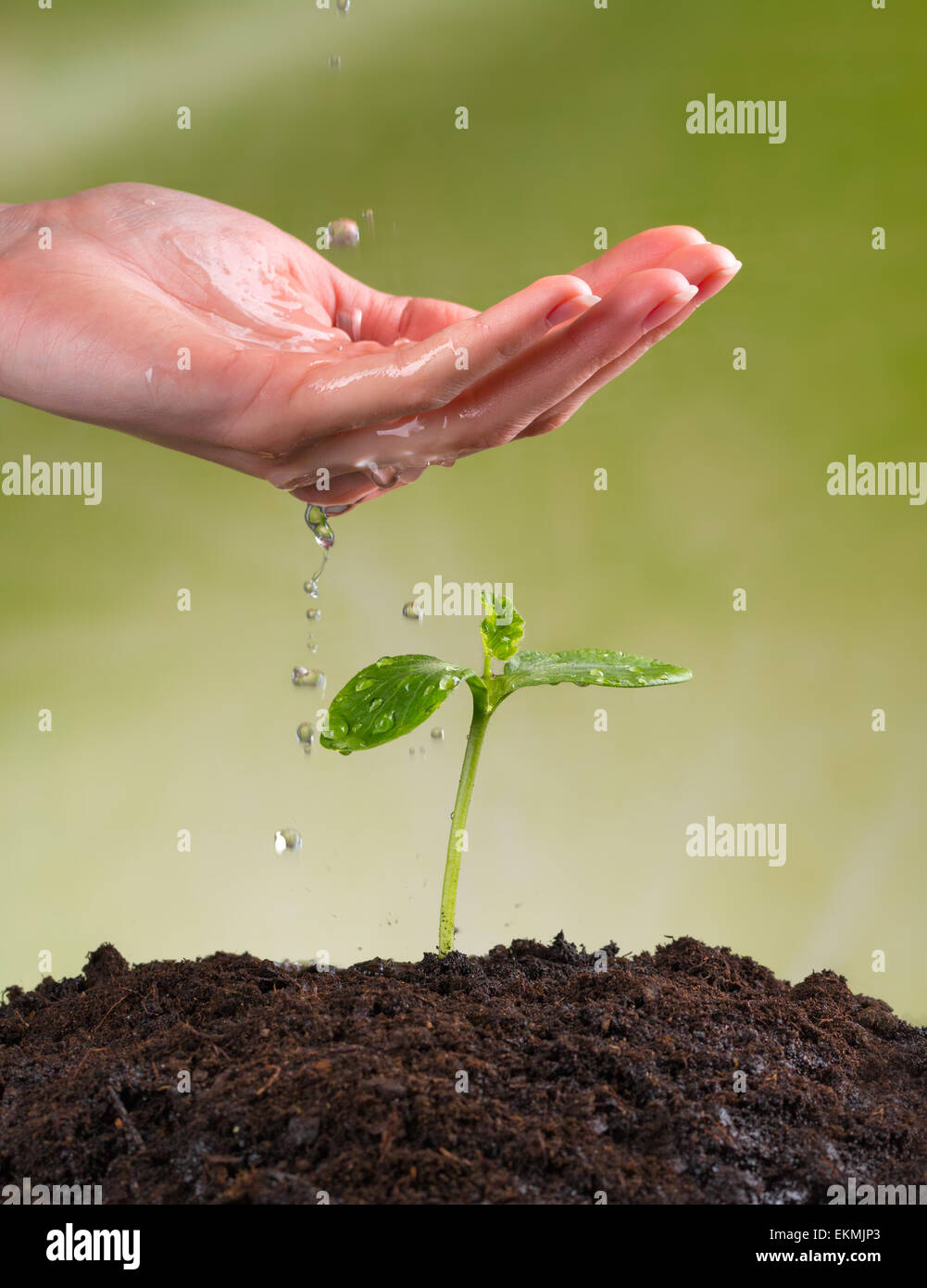 Woman hand watering young plant in pile of soil - Stock Image
