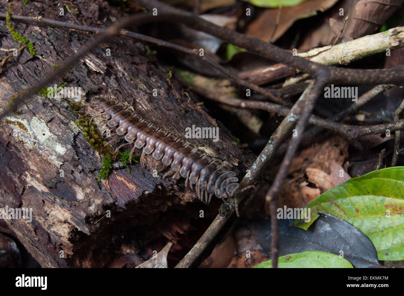 Harmless jungle centipede in Danum Valley Conservation, Borneo, Malaysia - Stock Image