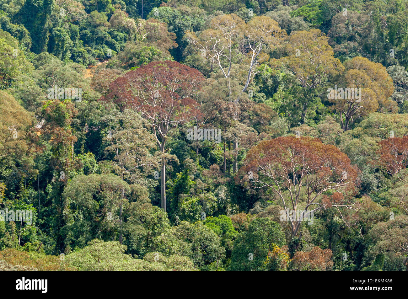 View of the Borneo rainforest trees, Malaysia Stock Photo