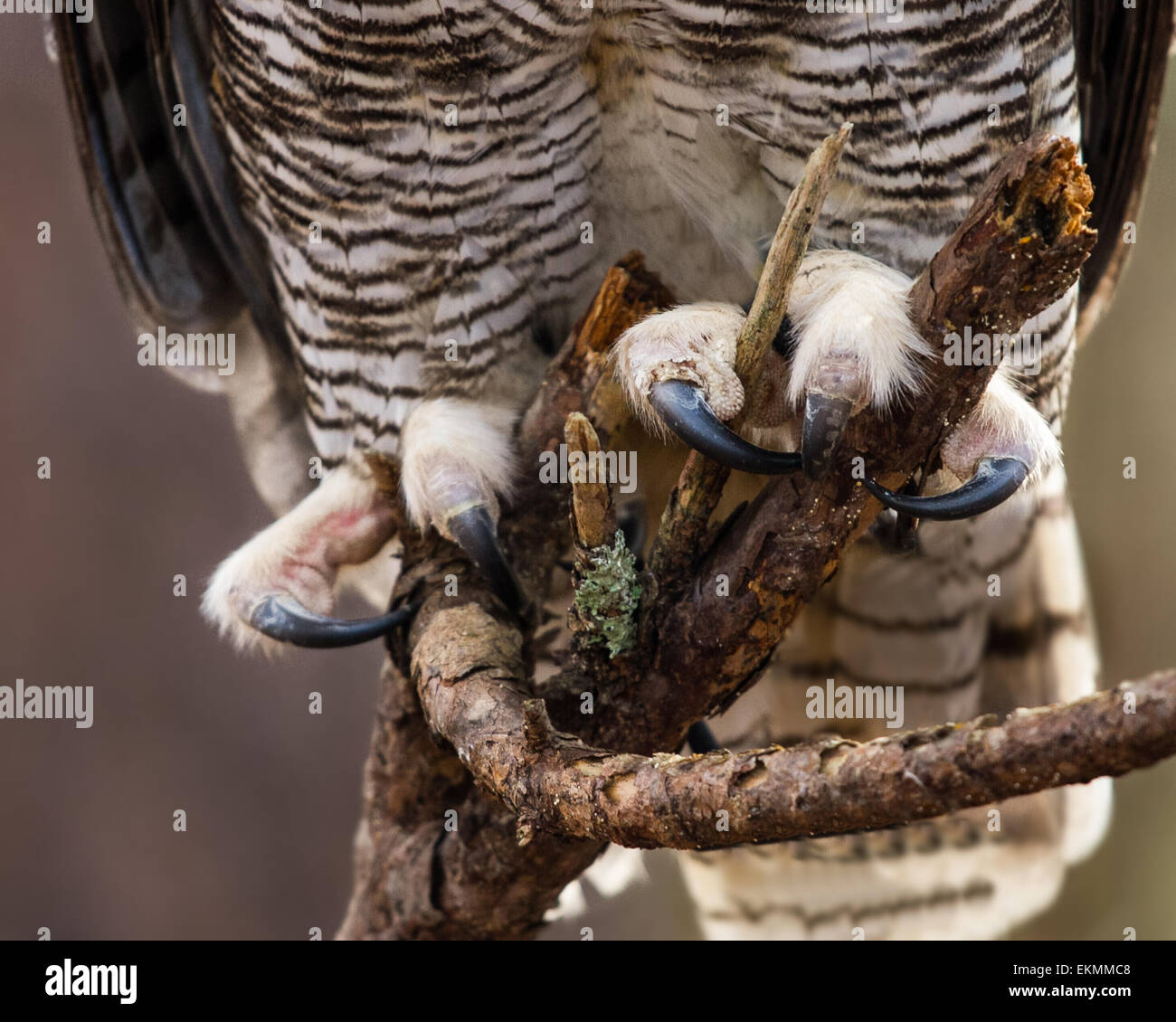 A closeup of a great horned owls talons. - Stock Image