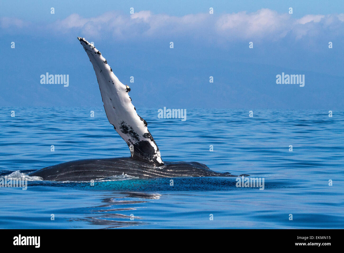 Humpback whale in the waters of Lahaina on Maui. - Stock Image