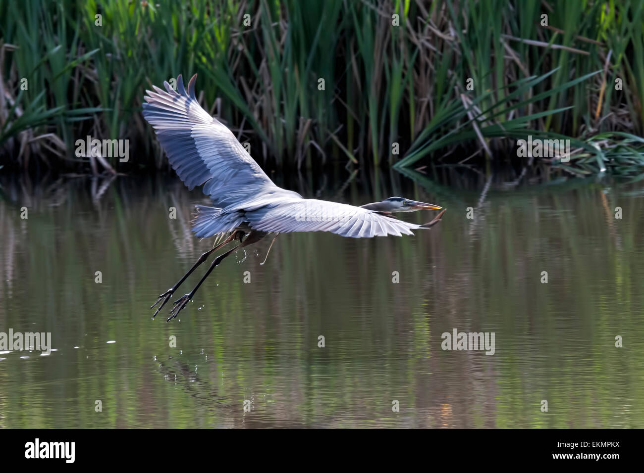 Great Blue Heron flying over a small pond in Monterey,Ca. - Stock Image