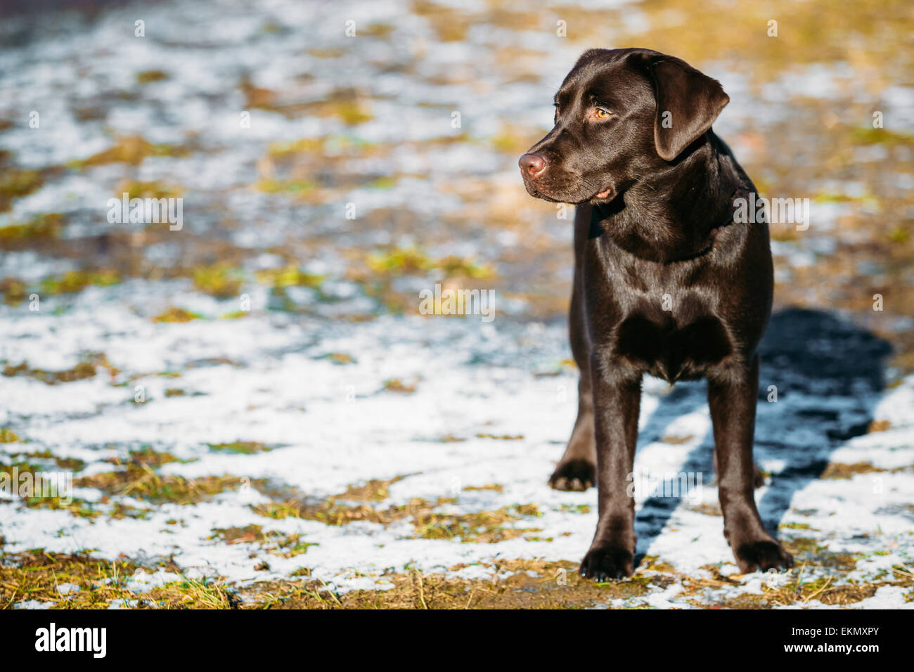 Beautiful Brown Dog Lab Labrador Retriever Staying Outdoor In Spring - Stock Image