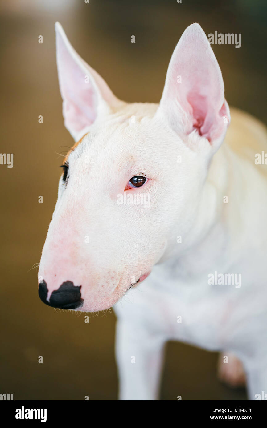 Close Up Pet White Bullterrier Dog Portrait Indoor On Brown Background - Stock Image