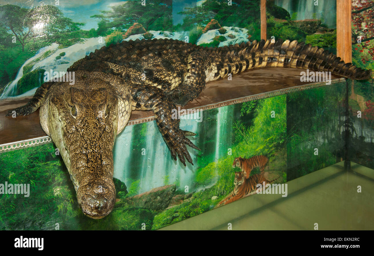 Crocodile.(Crocodylus porosus). - Stock Image