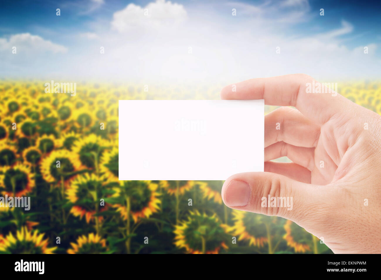 agricultural farmer holding blank white business card in sunflower field as copy space for message or design