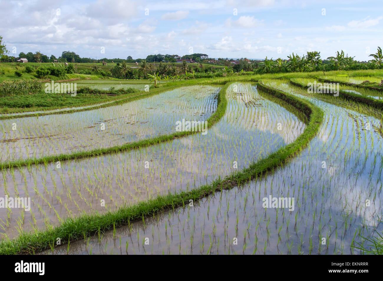 Rice field, Canggu, Bali, Indonesia - Stock Image