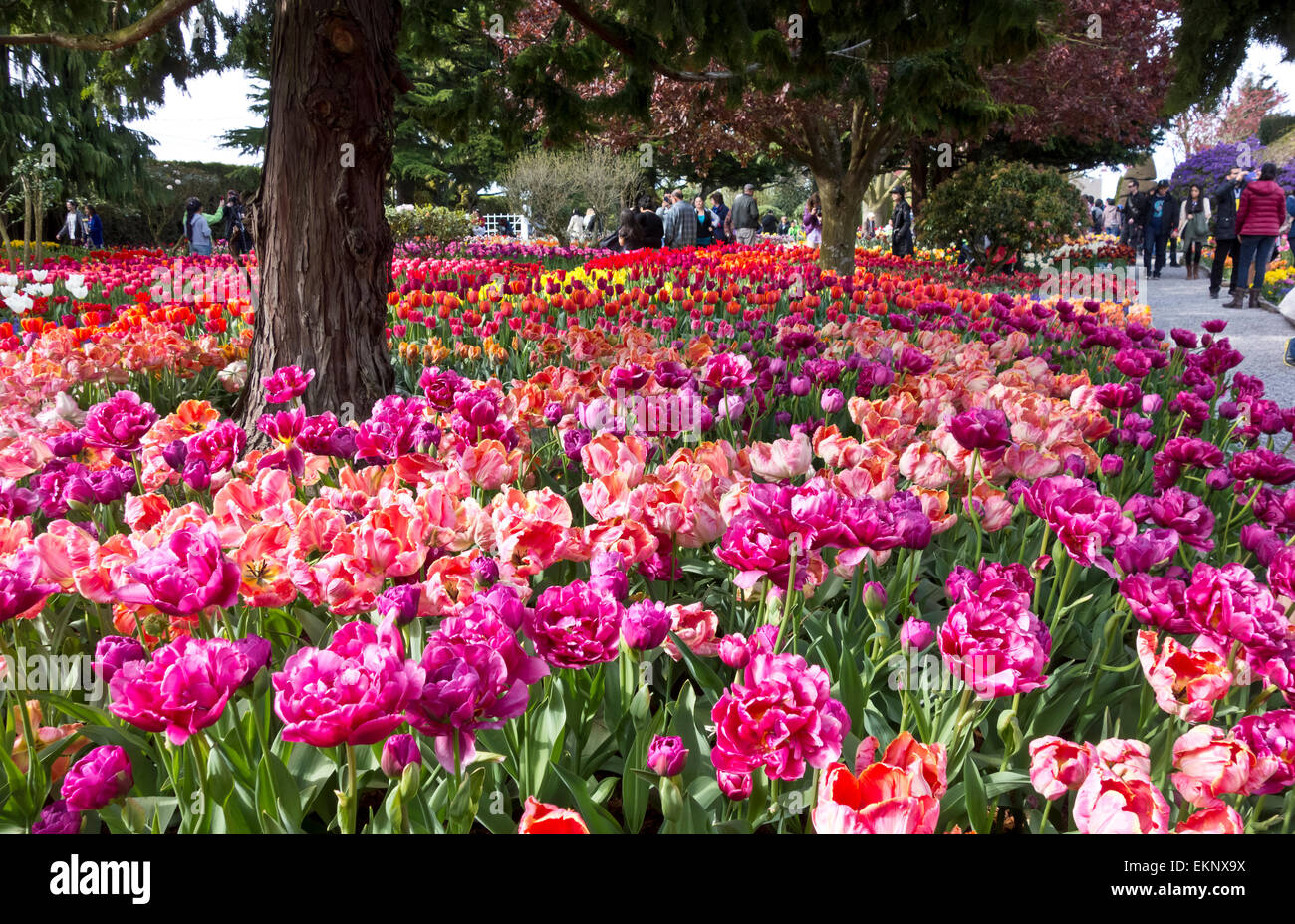 Visitors viewing tulips at Roozengaarde display gardens in Mount Vernon, Washington, during the Skagit Valley tulip - Stock Image