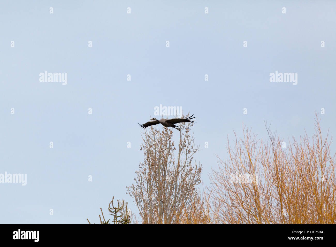 Eurasian or Common Crane (Grus grus). Clearing Willow (Salix sp. ) tree tops to negotiate towards a landing site. - Stock Image