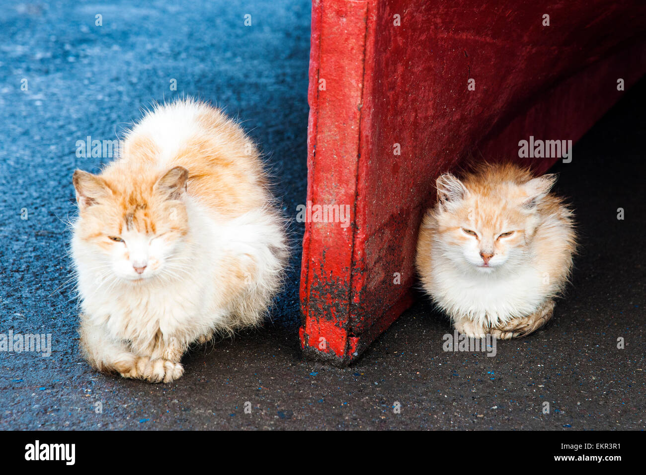 Cats in the Essaouira harbour, Marrakech-Tensift-Al Haouz, Morocco - Stock Image