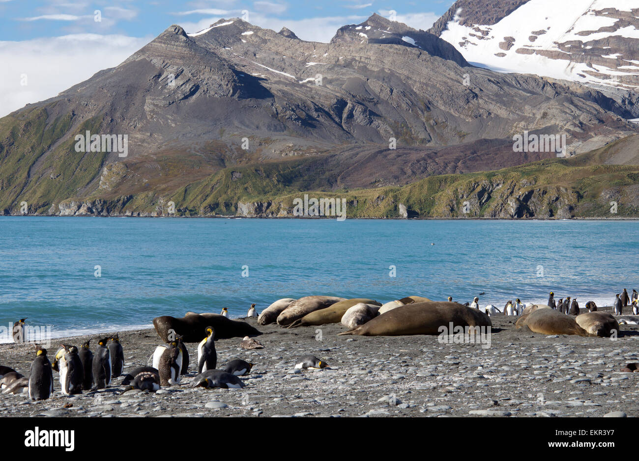 Group of basking Elephant seals and King Penguins Gold Harbour South Georgia - Stock Image