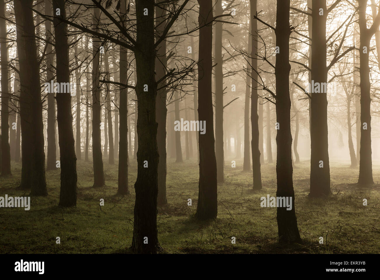 Sunrise in a conifer forest - Stock Image