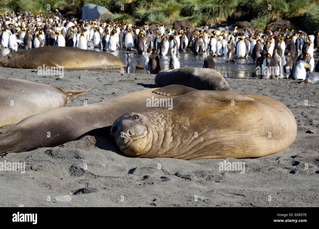 Young basking Elephant seal King Penguin colony Gold Harbour South Georgia - Stock Image