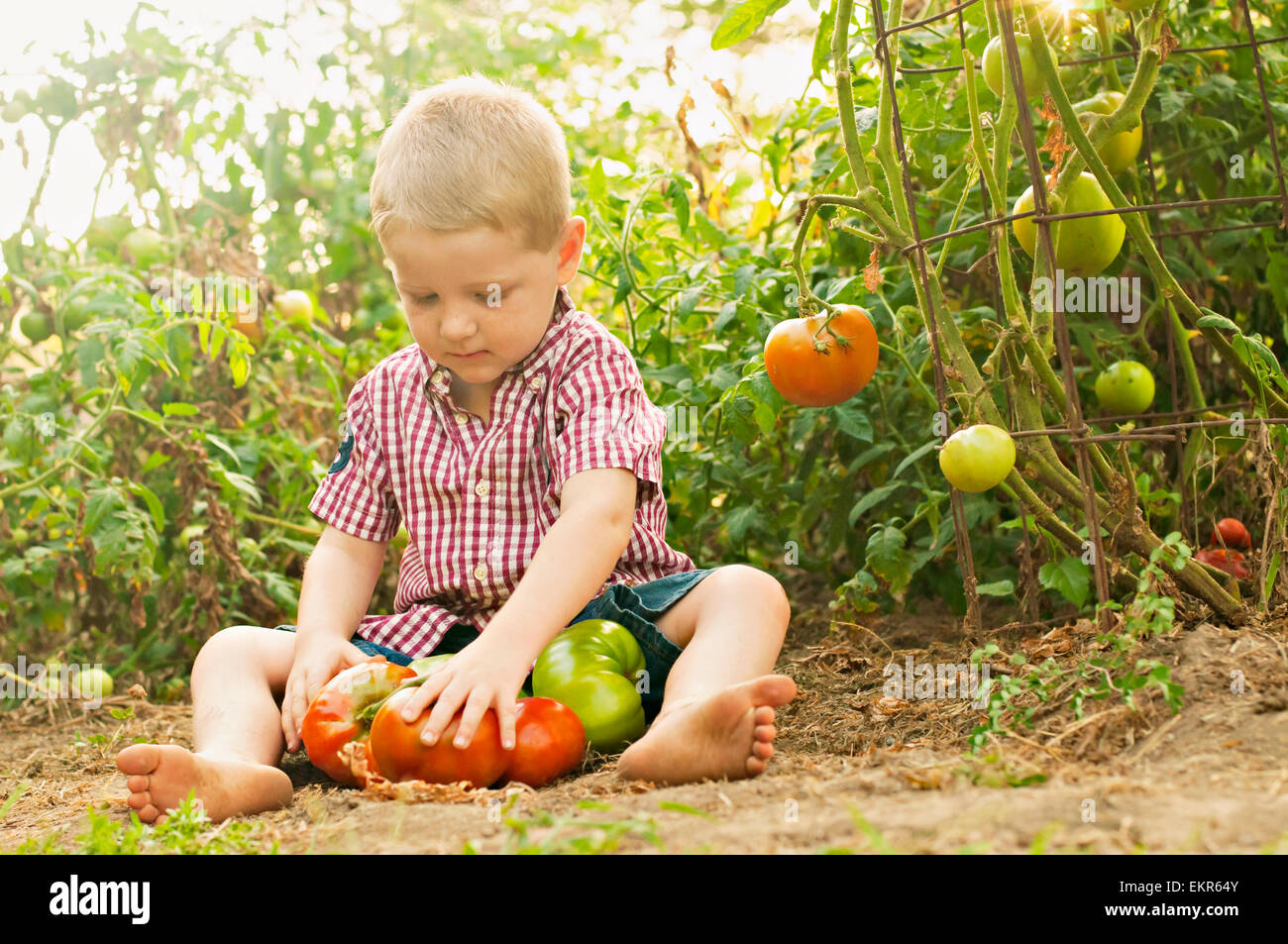 boy collects tomatoes in garden - Stock Image