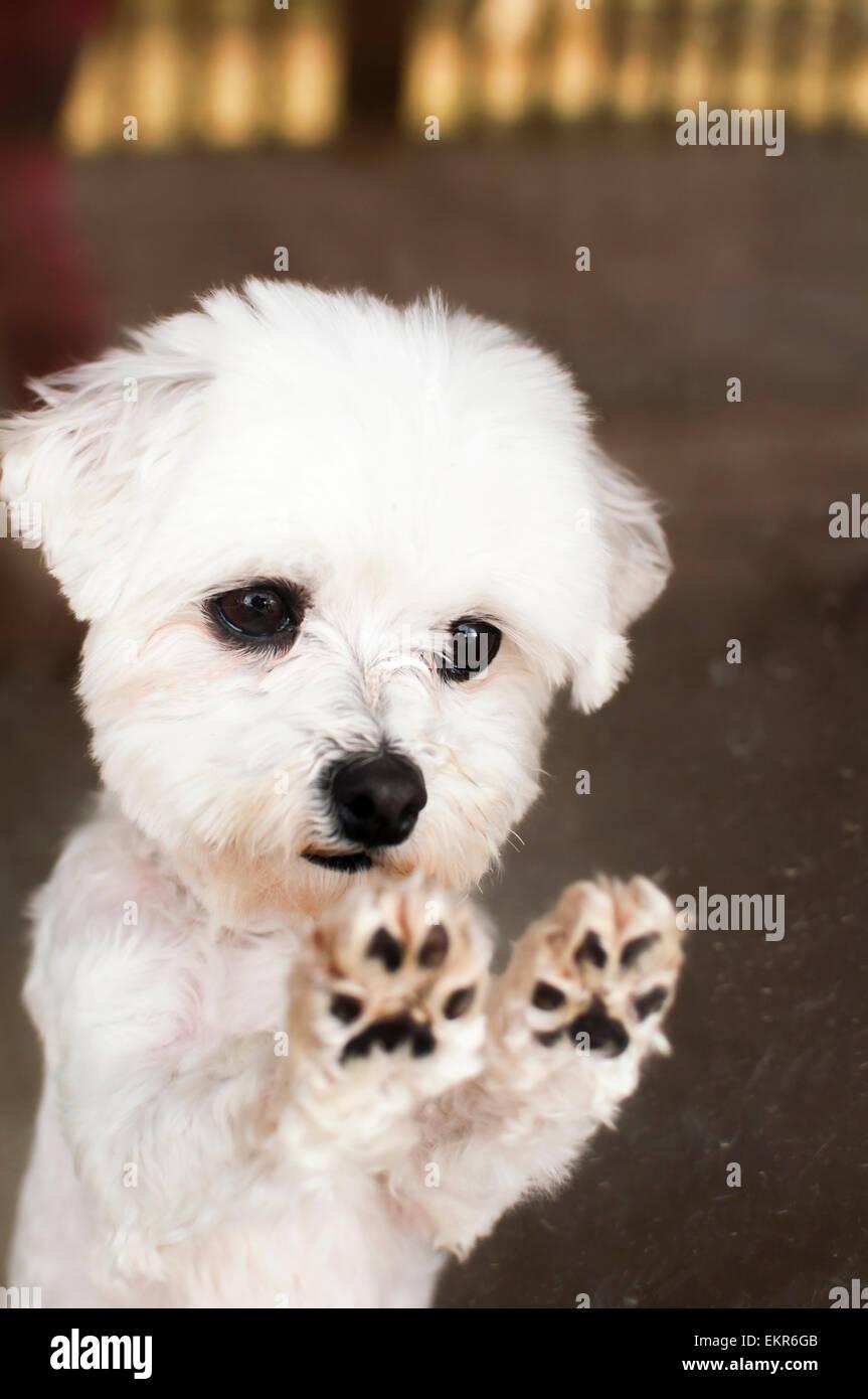 Maltese dog paws on glass door Stock Photo: 81029995 - Alamy
