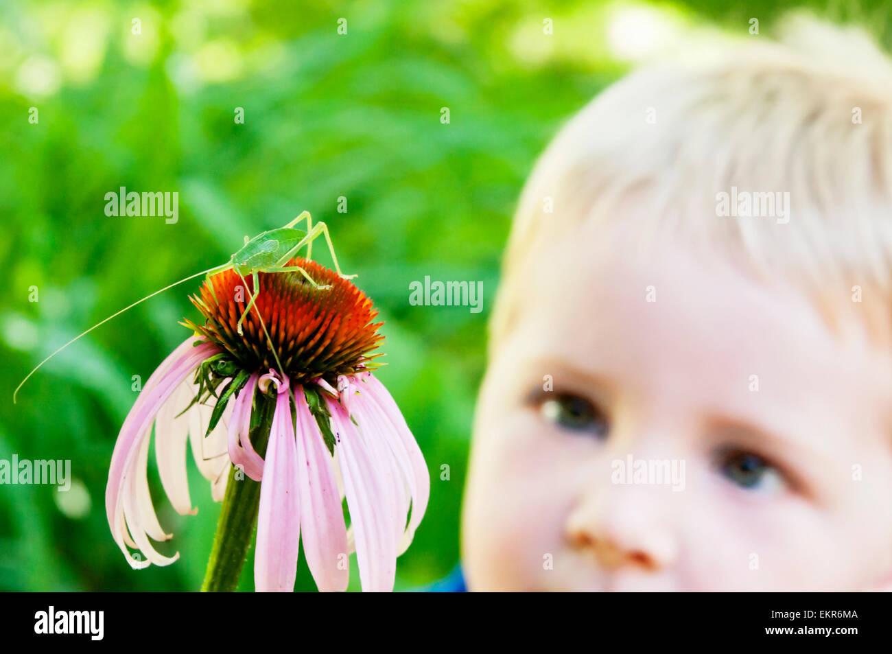 boy watches Katydid on coneflower - Stock Image